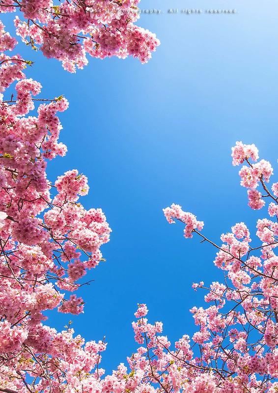 春櫻 正面