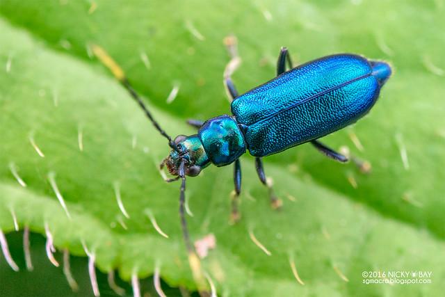 Leaf beetle (Hoplosaenidea singaporensis) - DSC_5002