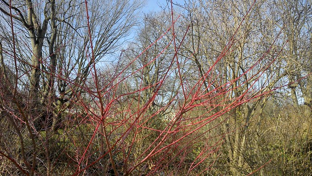 "Acer palmatum ""Sango-kaku"""