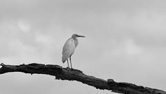 Juvenile Little Blue Heron in B&W ~ SonyA580