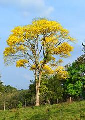 CABANGA, COSTA RICA - guayacan tree/ КАБАНГА, КОСТА-РИКА - дерево гуаякан