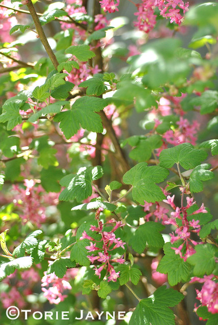 Flowering currant , Ribes Sanguinem