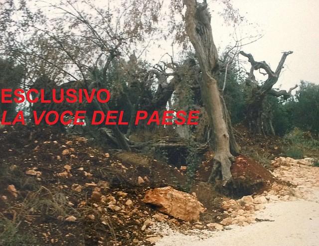 Uno degli alberi abbattuti all'epoca