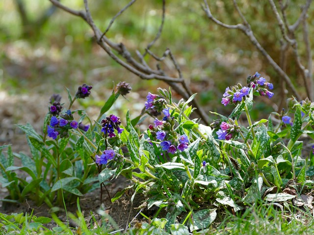 The pulmonaria is blooming now.