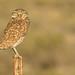 (EXPLORE) Burrowing Owl (Athene cunicularia) - Princeton, Oregon by bcbirdergirl