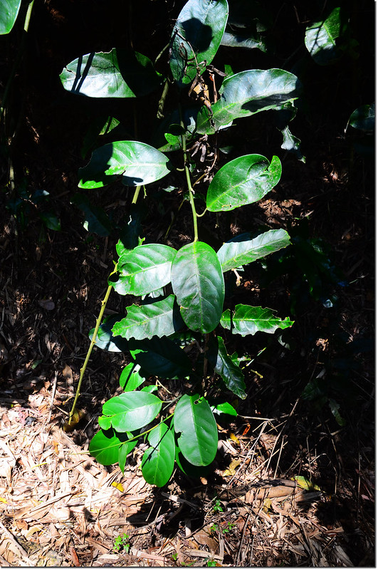 山柑的小枝條及互生單葉