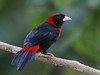 Crimson-collared Tanager - Selva Verde, Costa Rica