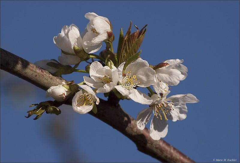 Cerisier en Fleurs 26684228352_c47ed0dac5_c