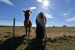 Gardur horses