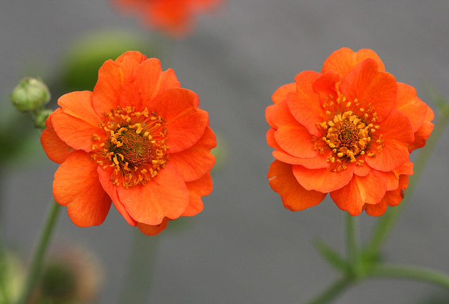 geum chiloense orange