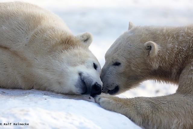 Polar Bear - Zoo München Hellabrunn January 2016 14