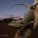 Central bearded dragon (Pogona vitticeps) by jasmine_vink