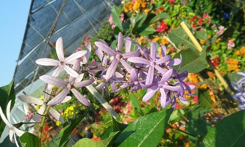 flowers plants thailand vines purple chiangrai verbenaceae ornamentals