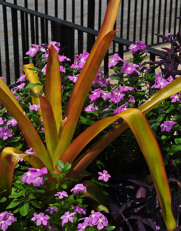 Administration Building - Aechmea blanchetiana (2)