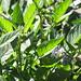starr-091020-8377-Solanum_muricatum-flowers_and_leaves-Kula_Experiment_Station-Maui