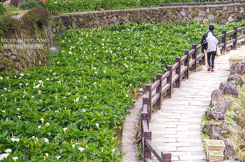 2016.Mar 陽明山竹子湖海芋子 @Taipei
