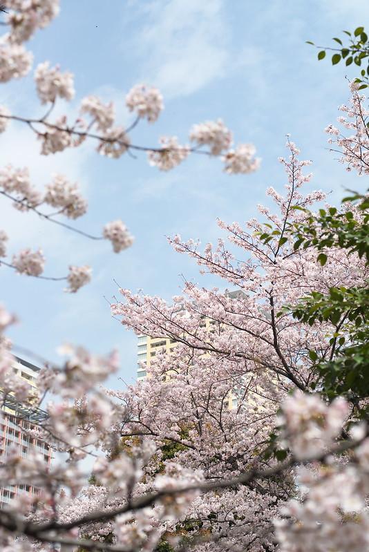 東京路地裏散歩 谷中の桜 2016年4月1日