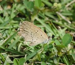 Pale Grass Blue 'Zizeeria maha serica'