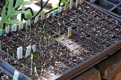 seedling trays IMG_5269 - Copy