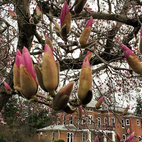 Outside Corbe House #magnolia @spsmw #spring #picoftheday #flowers #flowerfriday