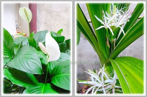 The whites (Peace Lily and Variegated Crinum Lily) at our front yard, Jan 4 2016