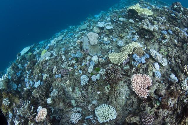 圖7. 大堡礁木礁(Wood Reef, the Great Barrier Reef)的白化珊瑚,可以看到許多白化的軸孔珊瑚(Acropora spp.)和鹿角珊瑚科(Pocilloporidae)的珊瑚,而且在深水域的礁體也有珊瑚白化的現象。圖片來源:郭兆揚。