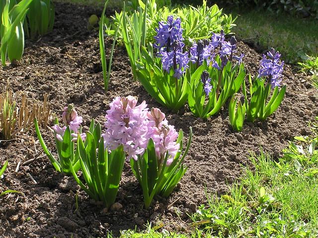 Hyacinthus orientalis 'Top Hit' & 'delft Blue'