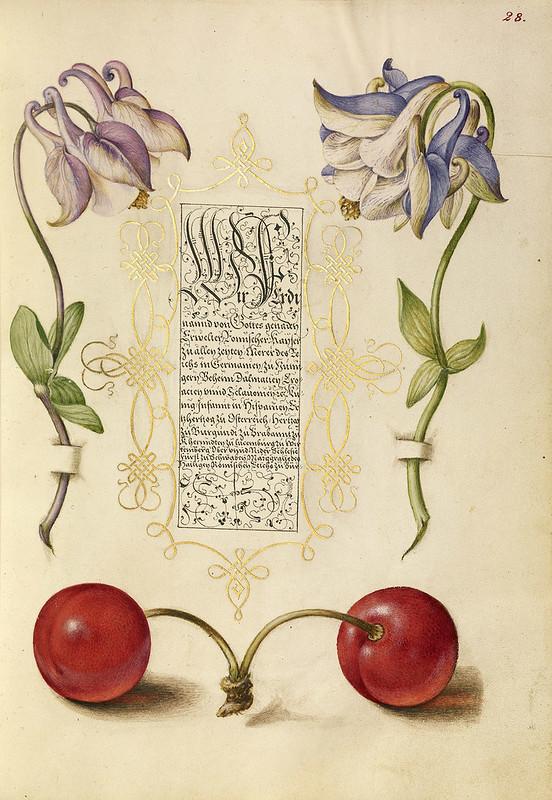 004- Fol 28- iluminado con Flor colombina europea y cerezas dulces- Mira Calligrafhiae monumenta- Joris Hoefnagel- Getty Museum.