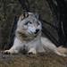 Gray wolf by kadam0124