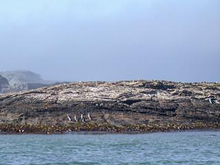 Brillenpinguine auf Guanoinsel Halifax Island