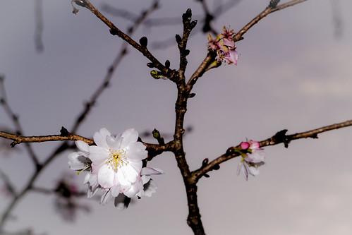 flower japan canon lens eos early blossom plum bloom kit stm m3 yamaguchiken ubeshi 1855nn