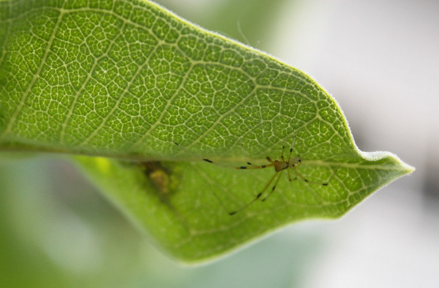 small yellow body and long yellow-and-black striped legs on the underside of a milkweed leaf