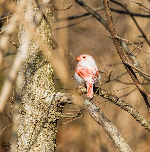 Leucistic Northern Cardinal (Explored 27 Feb 2016 #426)