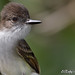 Jui de Puerto Rico...Puertorican flycatcher...Myiarchus antillarum....