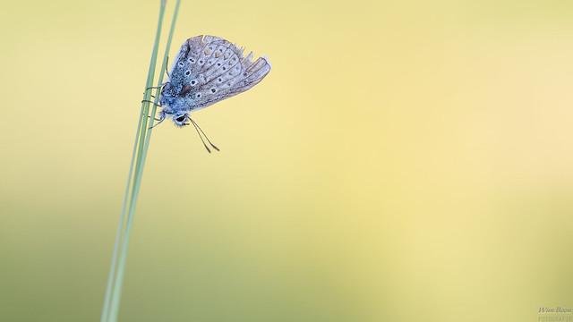 Icarusblauwtje - Common blue (Polyommatus icarus)