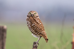 Burrowing Owl 7D045489