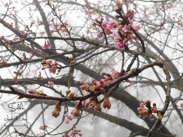 台北一日遊景點陽明山花季賞櫻花 (22)