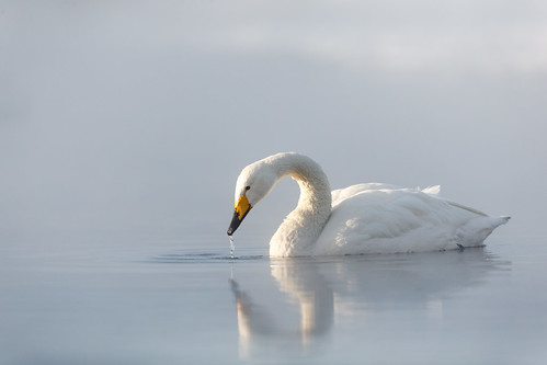 Whooper Swan - Sångsvan