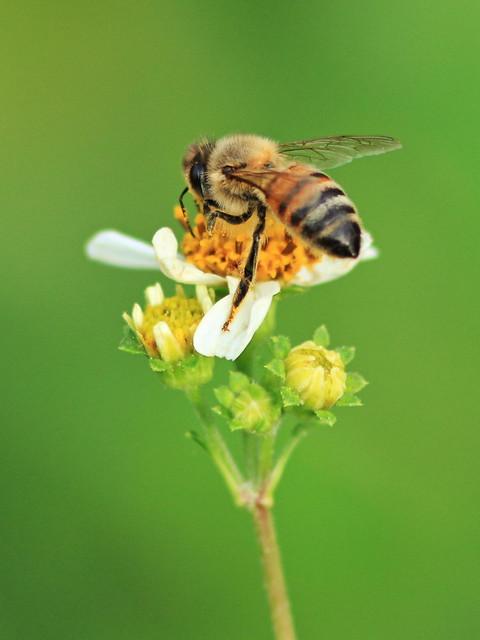 Honeybee gathering pollen 20160311
