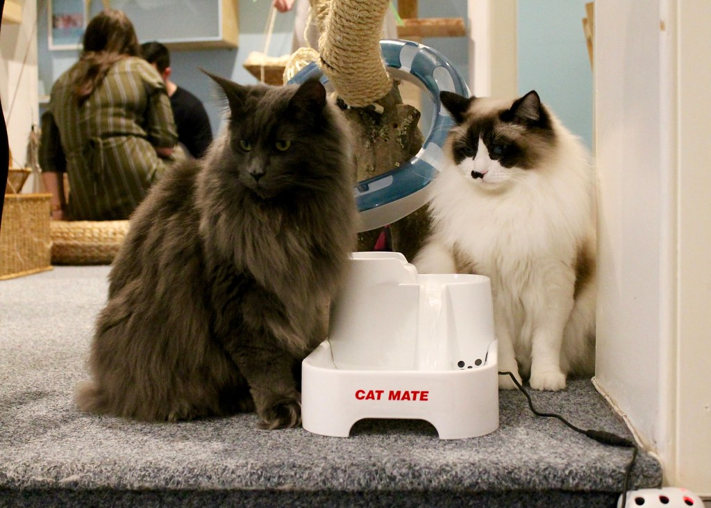 Maine Coon and Ragdoll Cats