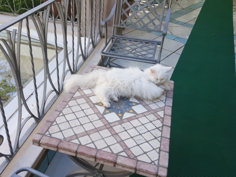Gatto Bianco cat