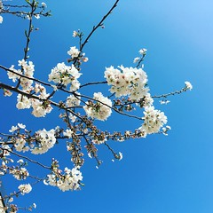 Cherry Blossoms 2016