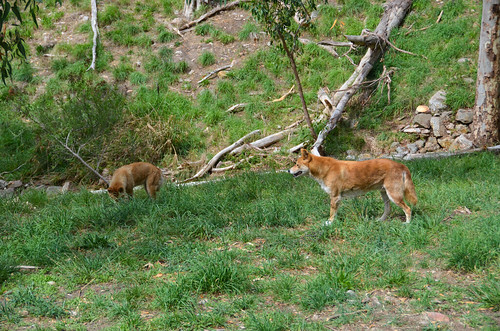 Purebred Dingoes