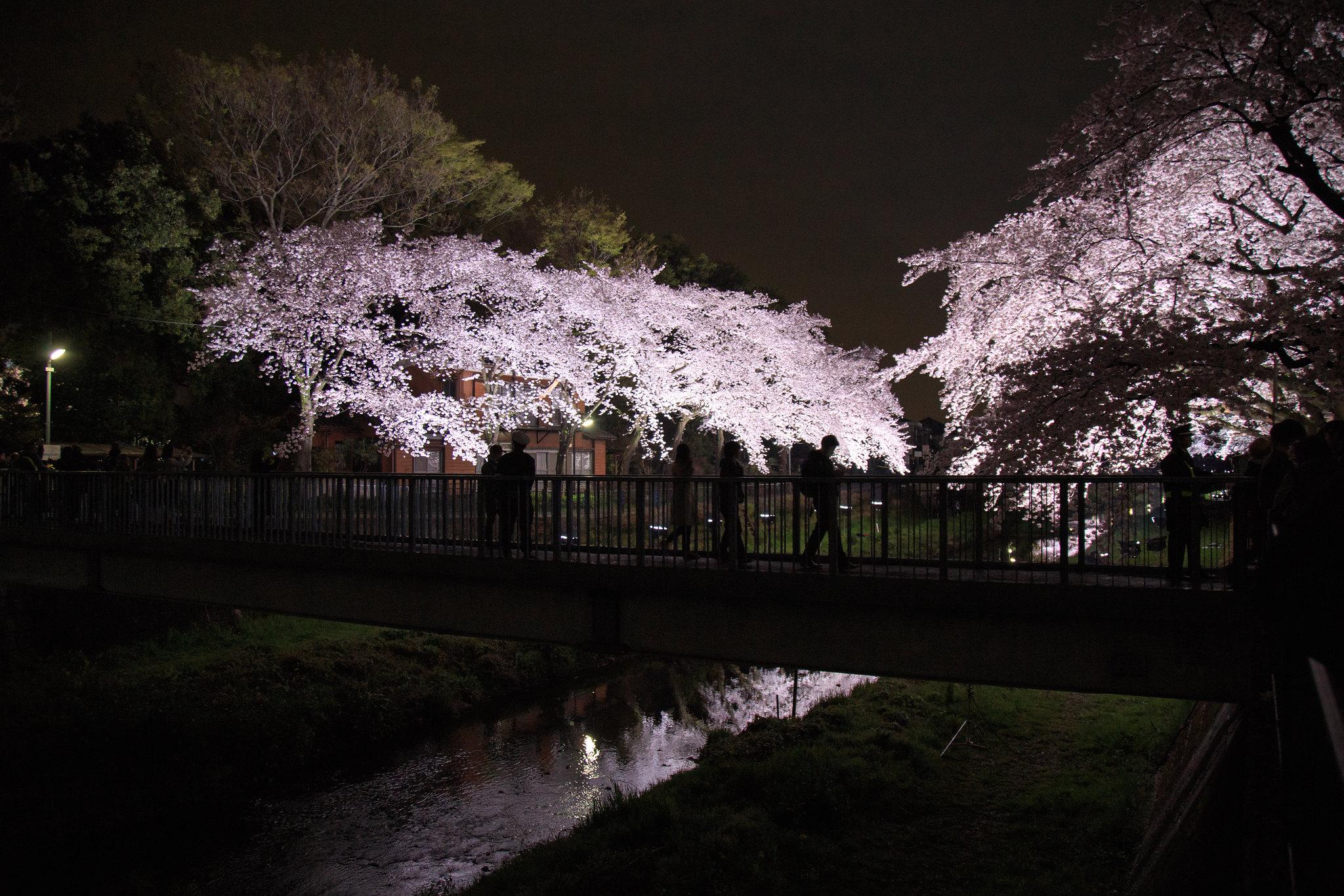 2016-04-05 野川桜ライトアップ 003