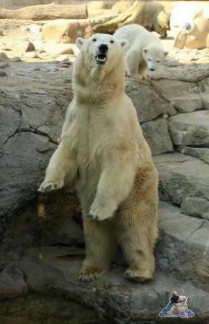 Eisbär Lili im Zoo am Bremerhaven 10.04.2016 Teil 2  042