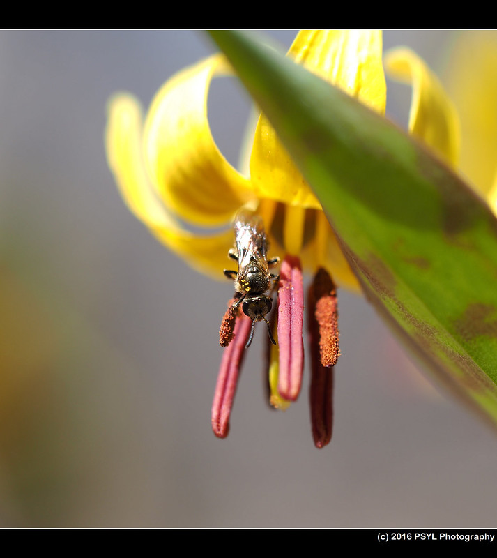 Helictidae bee resting on Trout lily flower (Research array #4 - red pollen)