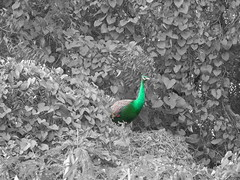 peacocks gallivanting around coimbatore