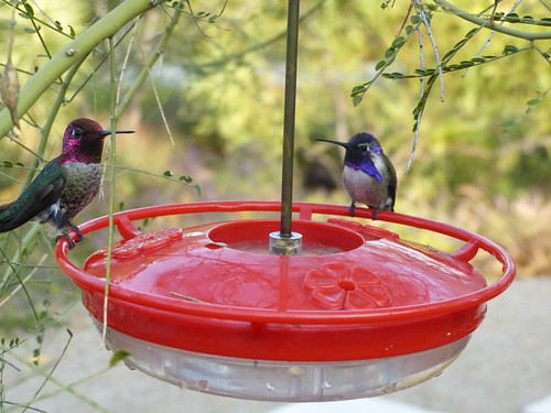 Hummingbirds. Costa's on right. Anna's on the left.