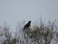 Fish Crow - Florida by SpeedyJR