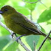 Small photo of Carmiol's Tanager